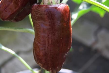 BIO-Samen Paprika süß Chokolate