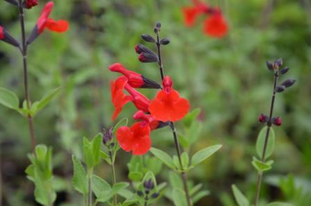 BIO-Pflanze Johannisbeer Salbei rot 'Royal Bumble'