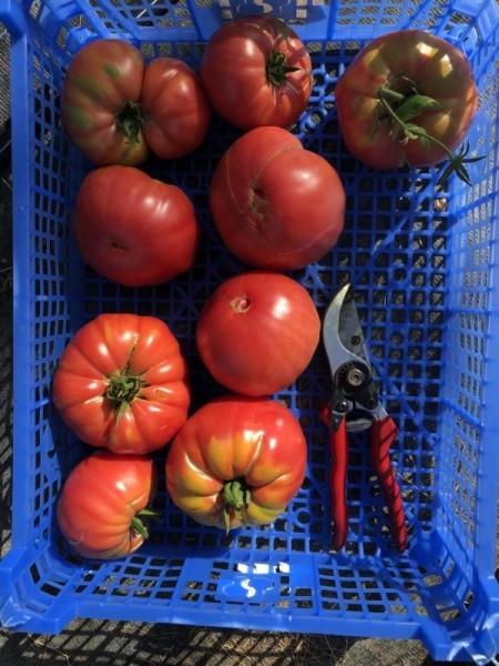 BIO-Pflanze Fleisch-Tomate Ispolin Alte Tomatensorte