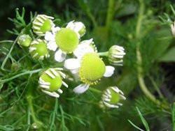 H1 Deutsche Kamille/Echte Kamille BIO Heil-Kräuterpflanze