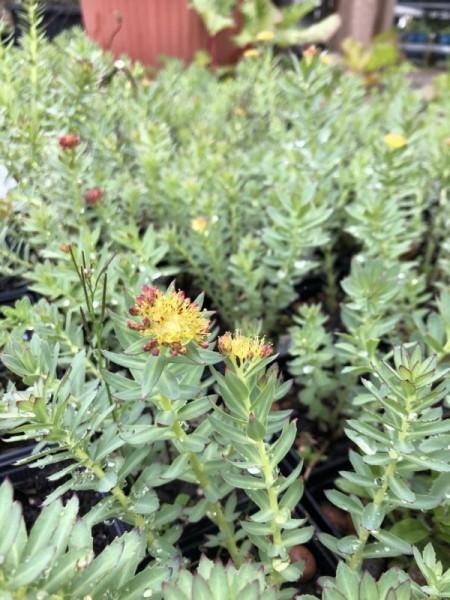 BIO-Pflanze Rosenwurz