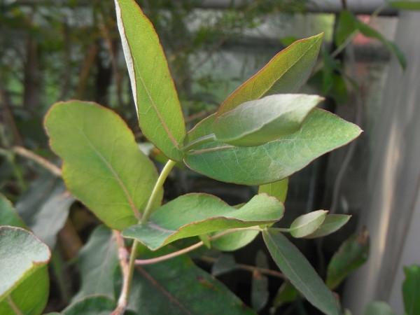 H4 Blauer Eukalyptus BIO-Kräuterpflanze