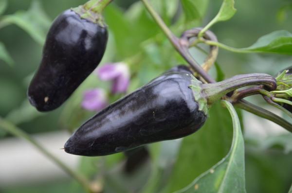 BIO-Samen C Paprika süß Marconi Purple