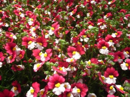 H5 BIO-Blumen Elfenspiegel Sunsutia Cherry on Ice