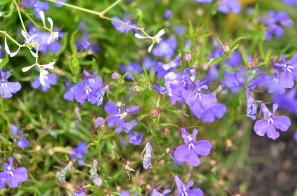 BIO-Blumen Männertreu blau