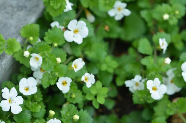 BIO-Blumen Schneeflocke Bacopa weiß