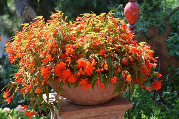 H5 BIO-Blumen Begonien hängend Summerwings Orange