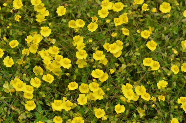 H5 BIO-Blumen Goldstaub, Mecardonia