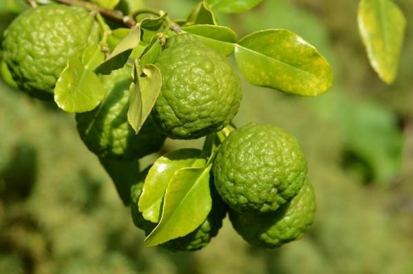 H11 Zitronenblatt, Kaffirlimette, Citrus hystrix, Thai-Limette BIO-Kräuter-Pflanze