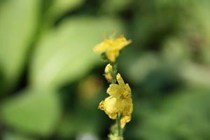 FL1 Odermennig BIO-Heilkräuterpflanze