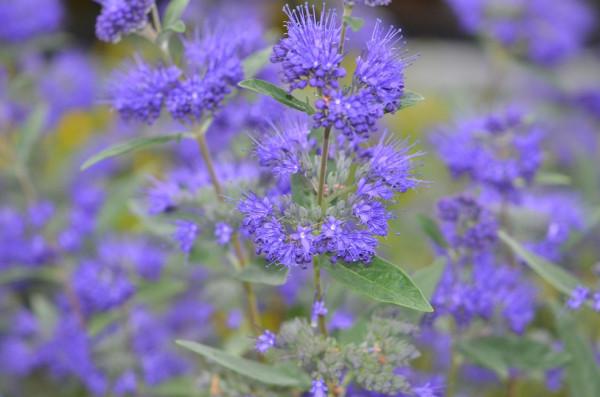 H4 BIO-Pflanze Bienenfreund