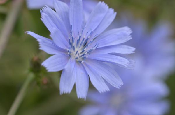 BIO-Kräuterpflanze Wegwarte