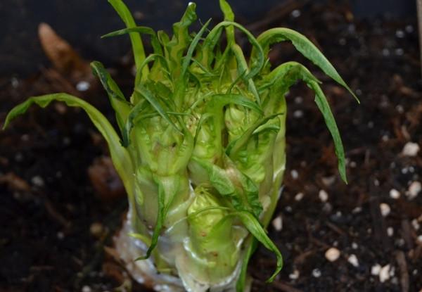 H1 BIO-Gemüsepflanze Vulkanspargel
