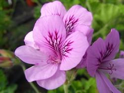 P Orangen-Pelargonie Duftgeranie BIO-Blumen Pflanze