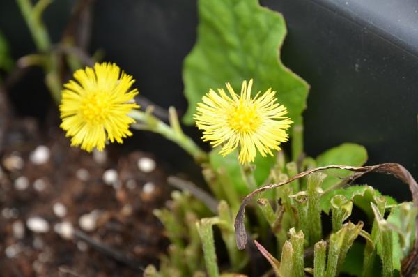 FL1 Huflattich BIO-Heilkräuterpflanze
