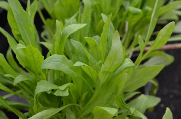 H1 Olivenblatt-Rauke, Olivenblatt-Rucola BIO-Topfkräuterpflanze
