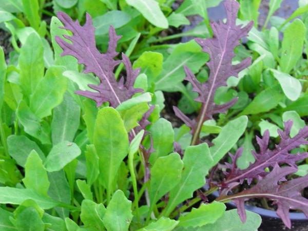 BIO-Kräuterpflanze Italienische Rauke, Rucola