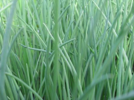 H6 BIO-Pflanze Schnittlauch