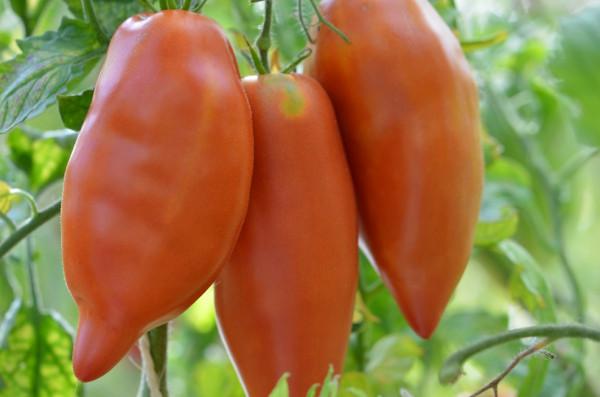 BIO-Samen Tomate Flaschen- Jersey Devil