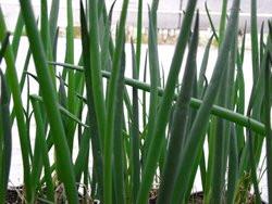H6 BIO-Pflanze Winterheckenzwiebel