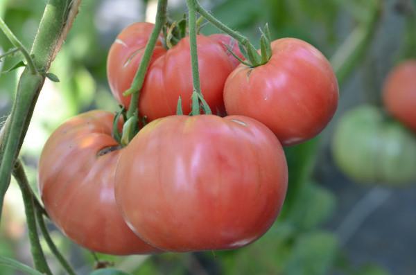 BIO-Tomatenpflanzen Salattomaten Paket