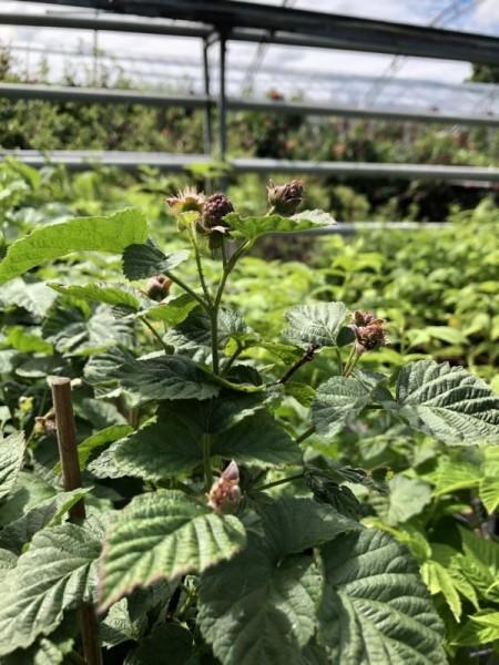 BIO-Beerenpflanze Tayberry