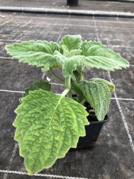H11 BIO-Kräuterpflanze Australisches Zitronenblatt