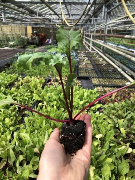 BIO-Jungpflanzen Rote Beete 4 Stück