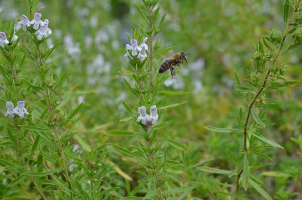 Bergbohnenkraut BIO Topfkräuterpflanze