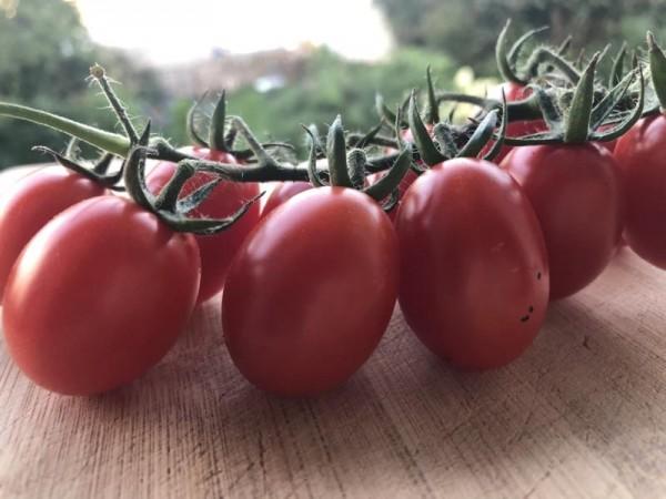 BIO-Pflanze Kirschtomate 'Miri Miri'