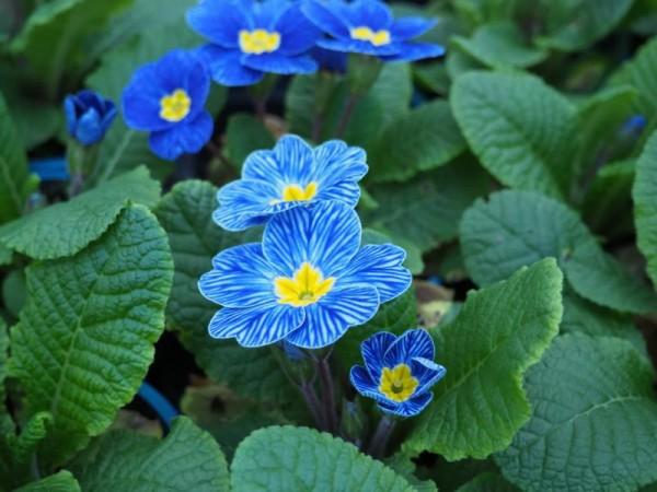 BIO-Blumen Primel Blaustreif