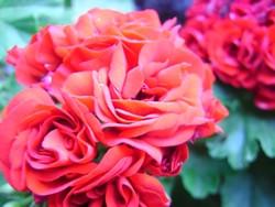 P Rosenknospen-Pelargonie Alois BIO-Blumen Pflanze