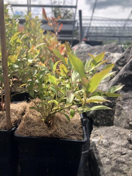 BIO-Beerenpflanze Heidelbeere 'Putte'