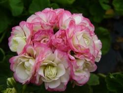 BIO-Pflanze Rosenknospen-Pelargonie Appleblossom