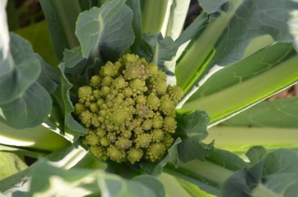BIO-Jungpflanzen Romanesco Blumenkohl  4er Pack