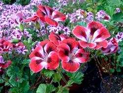 P Englische Geranie Royal Ascot BIO-Blumen Pflanze