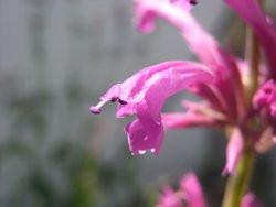 H4 BIO-Kräuterpflanze Lemonysop