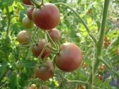 BIO-Samen Tomate Kirsch- Schwarze Kirsche