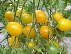 BIO-Samen Tomate Oliven- Dattelwein