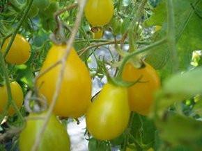 BIO-Samen Tomate Birnen- Yellow Submarine