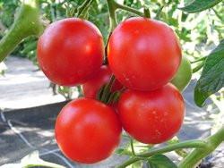 Bio-Samen Tomate rund normal- Matina