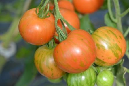 BIO-Pflanze Tomate rund Tigerella Alte Tomatensorte