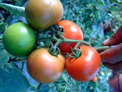 BIO-Samen Tomate rund- New Hampshire Surecrop