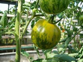 BIO-Samen Tomate rund normal- Grünes Zebra