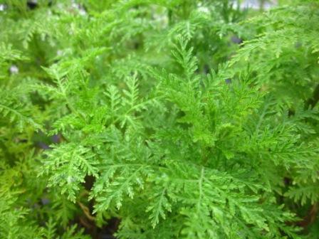 BIO-Kräuter-Pflanze Räucher-Beifuß
