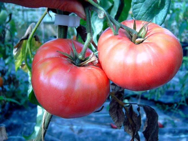 BIO-Samen Tomate Fleisch- Brandywine