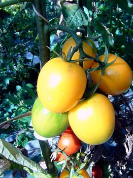 BIO-Samen Tomate Eier - DeBerao gelb