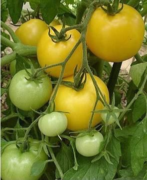 BIO-Samen Busch-Tomate normalfrüchtig 'Yellow Taxi'