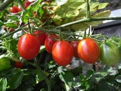 BIO-Samen Tomate Busch- Kremser Perle