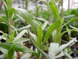 H6 BIO-Pflanze Französischer Estragon